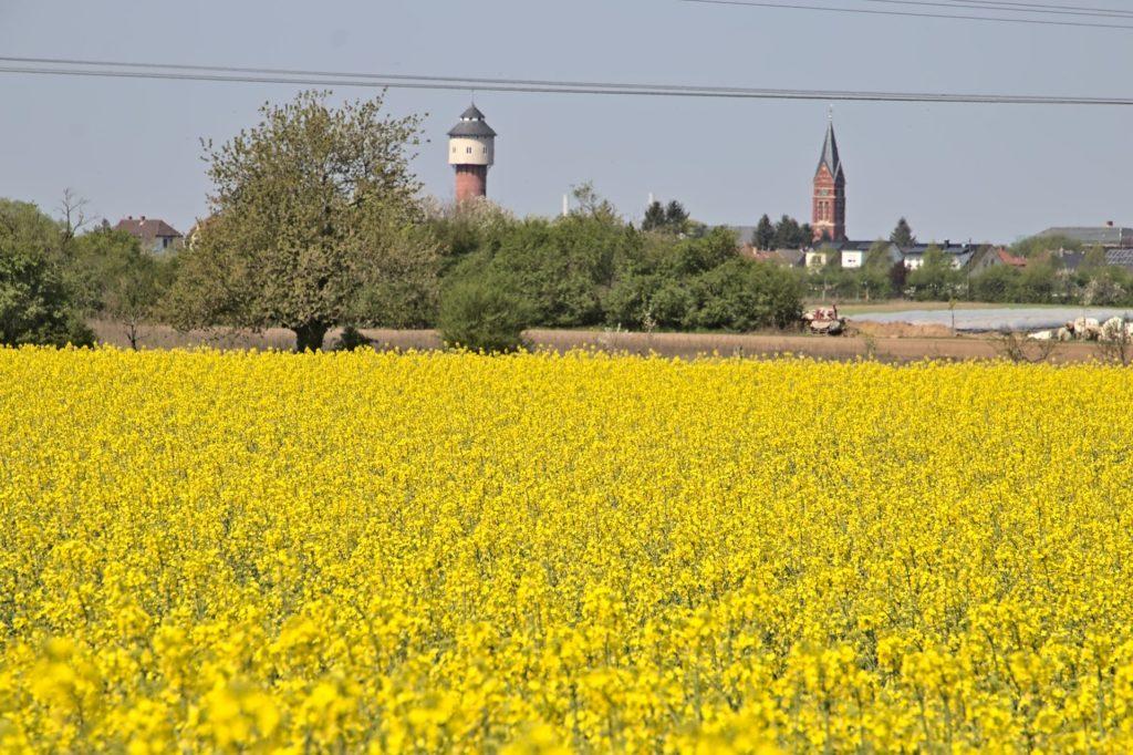 Wasserturm und Kirchturm von Plankstadt hinter einem Rapsfeld.